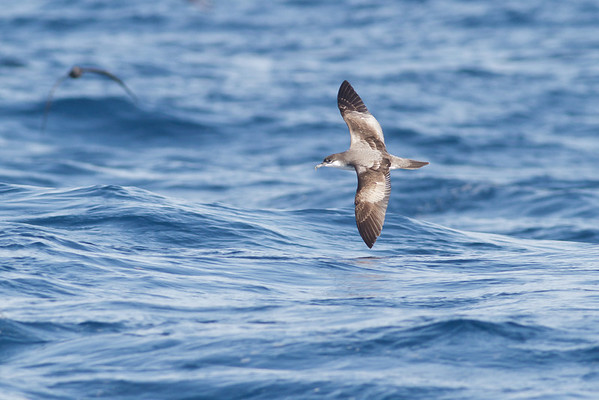 Buller's Shearwater December 17, 2011 Wollongong, NSW IMG_8173