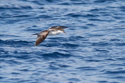 Buller's Shearwater December 17, 2011 Wollongong, NSW IMG_8206