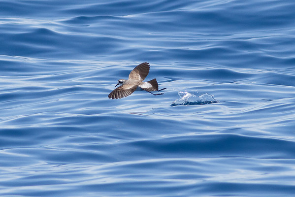 White-faced Storm-petrel December 17, 2011 Wollongong, NSW IMG_8440
