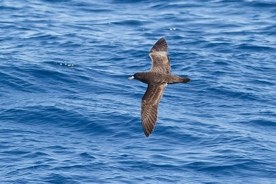 Flesh-footed Shearwater December 17, 2011 Wollongong, NSW IMG_8516