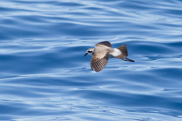 White-faced Storm-petrel December 17, 2011 Wollongong, NSW IMG_8413