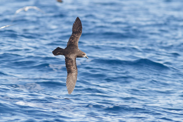 Grey-faced Petrel December 17, 2011 Wollongong, NSW IMG_8249
