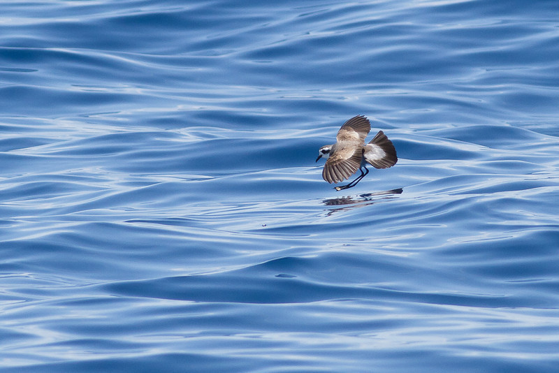 White-faced Storm-petrel December 17, 2011 Wollongong, NSW IMG_8439