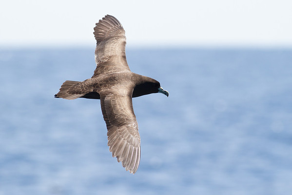 White-chinned Petrel December 17, 2011 Wollongong, NSW IMG_8339