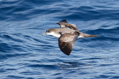 Buller's Shearwater December 17, 2011 Wollongong, NSW IMG_8213