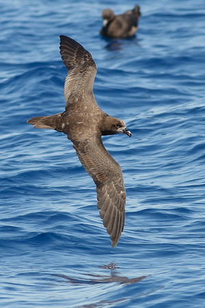 Grey-faced Petrel Wollongong, NSW February 26, 2011 IMG_4581
