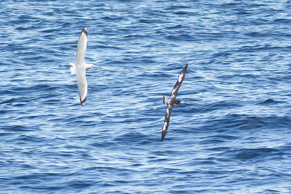 Cape Petrel chased by Silver Gull Wollongong, NSW June 25, 2011 IMG_0563