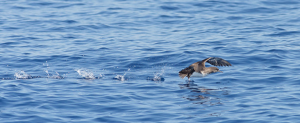 Hutton's Shearwater Sydney, NSW March 12, 2011 IMG_6388