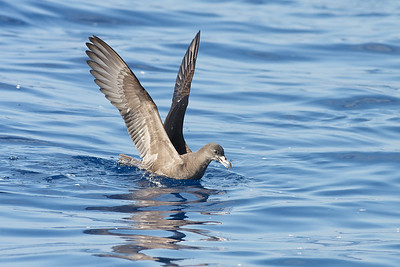 Wedge-tailed Shearwater Sydney, NSW March 12, 2011 IMG_6023