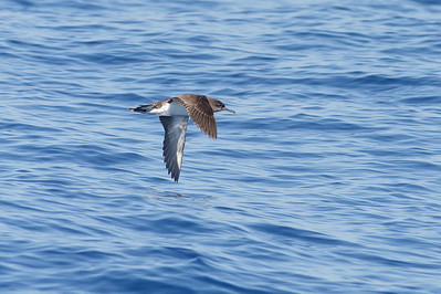 Hutton's Shearwater Sydney, NSW March 12, 2011 IMG_6392