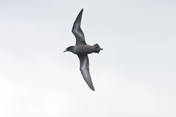 Sooty Shearwater Wollongong, NSW March 26, 2011 IMG_7802