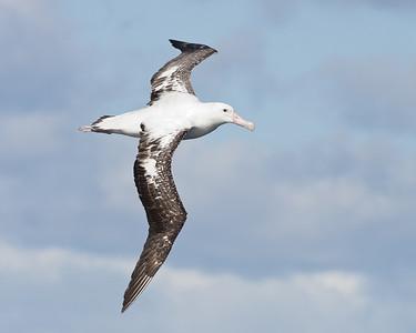 Wandering Albatross Sydney, NSW May 14, 2011 IMG_5051