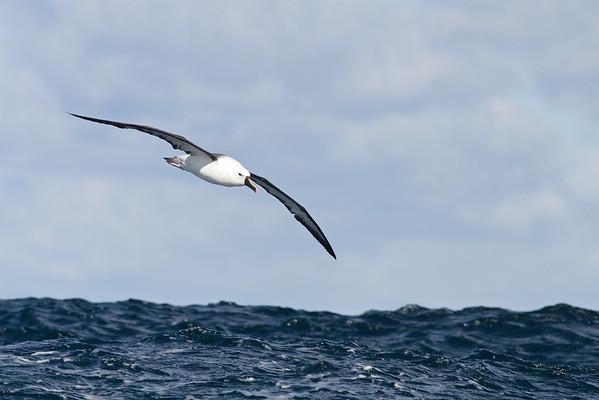 Yellow-nosed Albatross Sydney, NSW May 14, 2011 IMG_5095