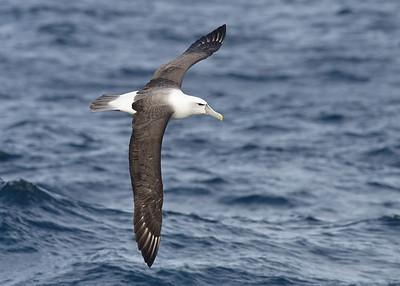 Shy Albatross Wollongong, NSW May 28, 2011 IMG_6157