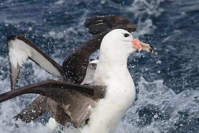 Black-browed Albatross, Buller's Albatross Wollongong, NSW May 28, 2011 IMG_6168