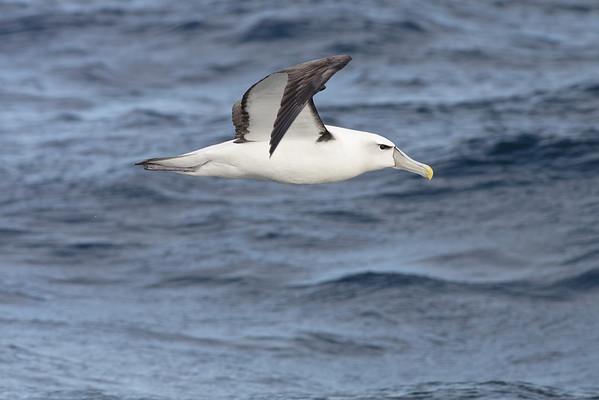 Shy Albatross Wollongong, NSW May 28, 2011 IMG_6162