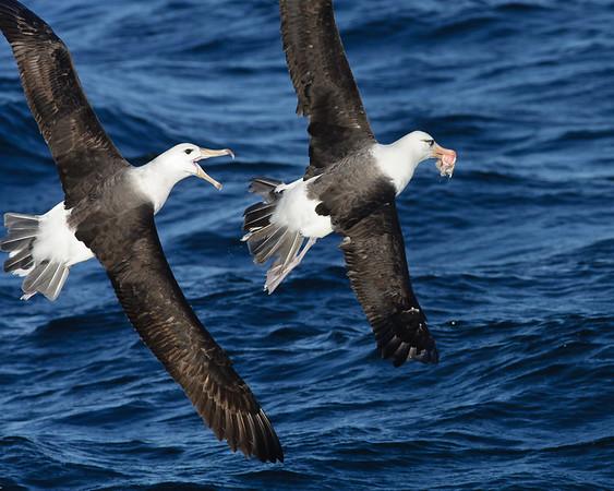 Black-browed Albatross, Campbell Albatross Wollongong, NSW May 28, 2011 IMG_6464