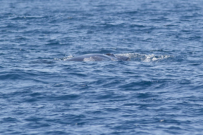 Sei Whale - afternoon Sydney, NSW November 12, 2011 IMG_5791