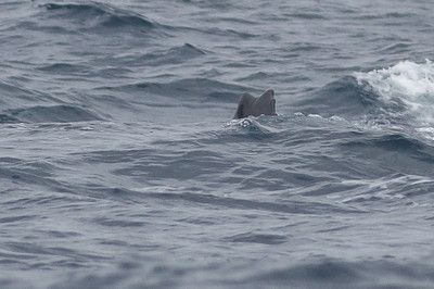Sei Whale - morning Sydney, NSW November 12, 2011 IMG_4950