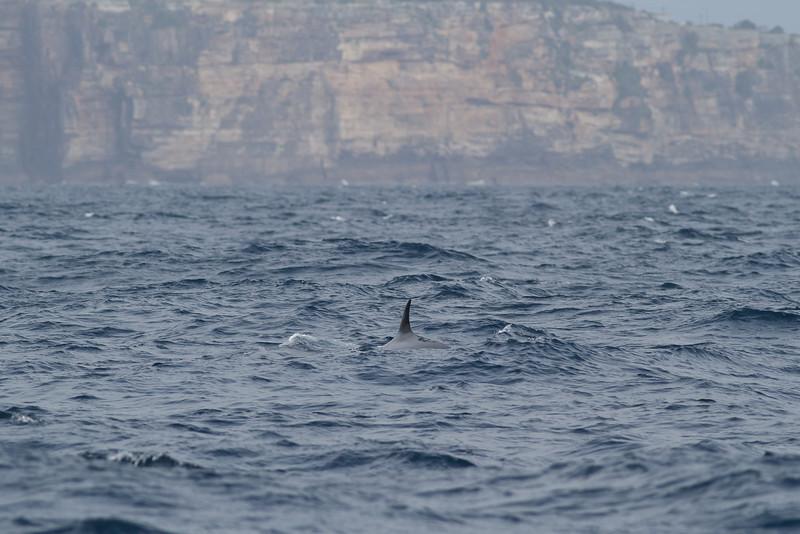 Sei Whale - morning Sydney, NSW November 12, 2011 IMG_4921
