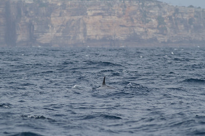 Sei Whale - morning Sydney, NSW November 12, 2011 IMG_4921
