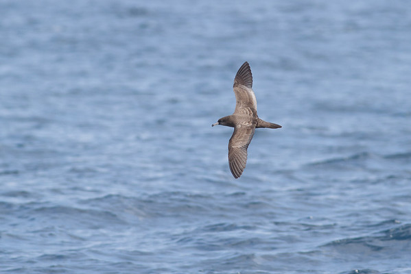 Wedge-tailed Shearwater Sydney, NSW October 08, 2011 IMG_0842