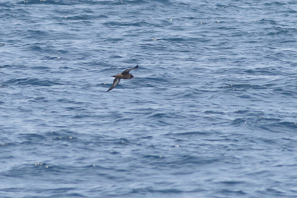 Sooty Shearwater Sydney, NSW October 08, 2011 IMG_0863