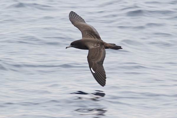 Wedge-tailed Shearwater Sydney, NSW October 08, 2011 IMG_9951
