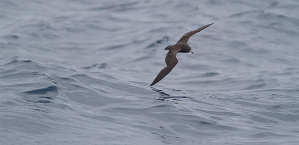 Flesh-footed Shearwater Sydney, NSW October 08, 2011 IMG_0290