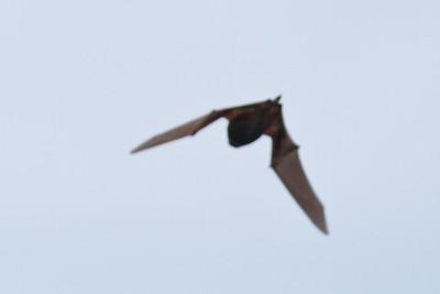 Bat sp. Sydney, NSW October 08, 2011 IMG_0764