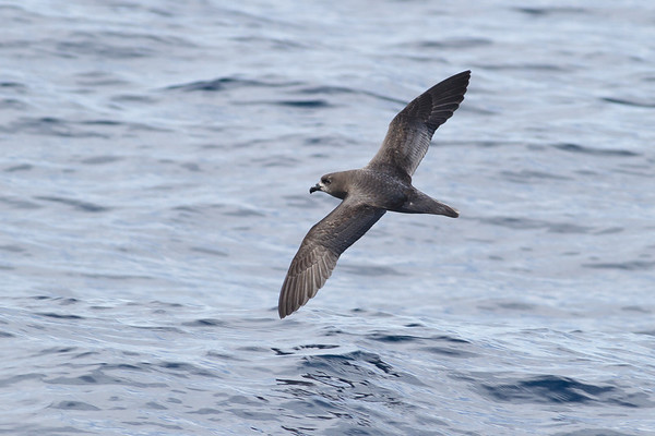 Providence Petrel Sydney, NSW April 14, 2012 IMG_0887