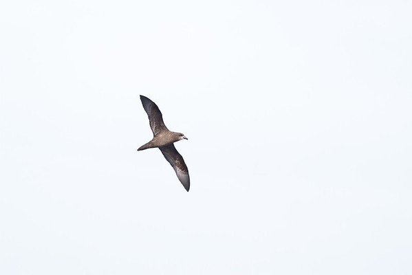 Grey-faced Petrel Sydney, NSW April 14, 2012 IMG_0997