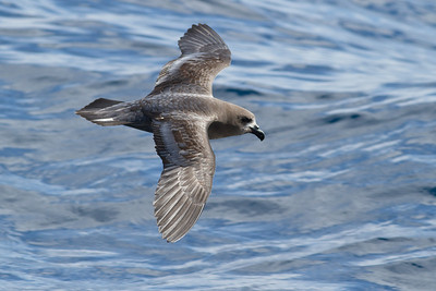 Providence Petrel Sydney, NSW April 14, 2012 IMG_1135