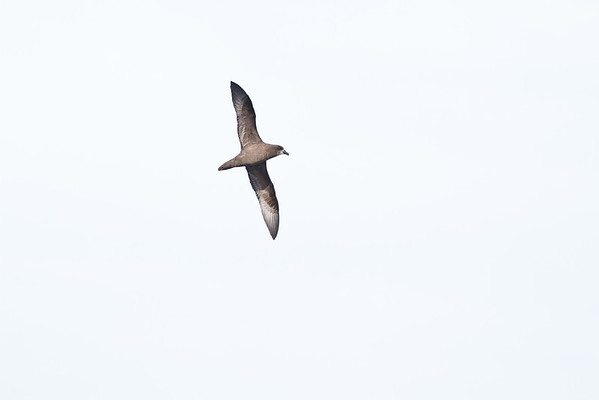 Grey-faced Petrel Sydney, NSW April 14, 2012 MG_0998
