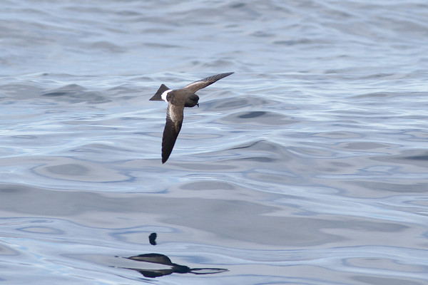 Wilson's Storm-petrel Sydney, NSW April 14, 2012 IMG_0831