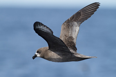 Providence Petrel Sydney, NSW April 14, 2012 IMG_1321