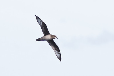Providence Petrel Sydney, NSW April 14, 2012 IMG_1062