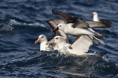 Indian Yellow-nosed Albatross, Campbell Albatross, Shy Albatross Wollongong, NSW April 28, 2012 IMG_3948