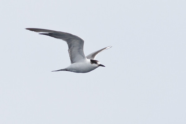 Common Tern (1st Summer) Wollongong, NSW April 28, 2012 IMG_2410