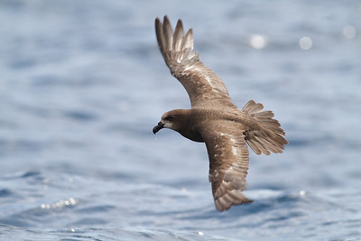 Grey-faced Petrel December 08, 2012 Sydney, NSW IMG_6147