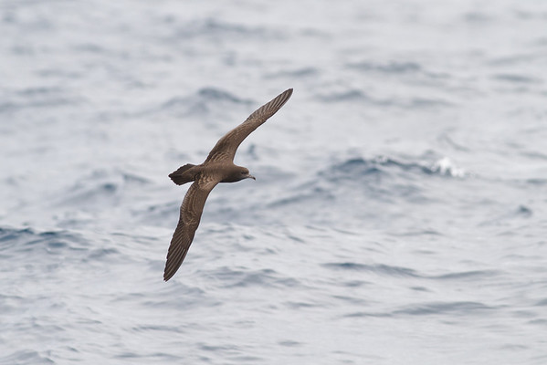 Wedge-tailed Shearwater December 08, 2012 Sydney, NSW IMG_6234