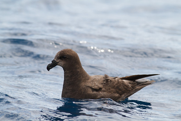 Grey-faced Petrel December 08, 2012 Sydney, NSW IMG_6153
