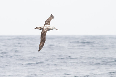 Wandering Albatross December 08, 2012 Sydney, NSW IMG_6357
