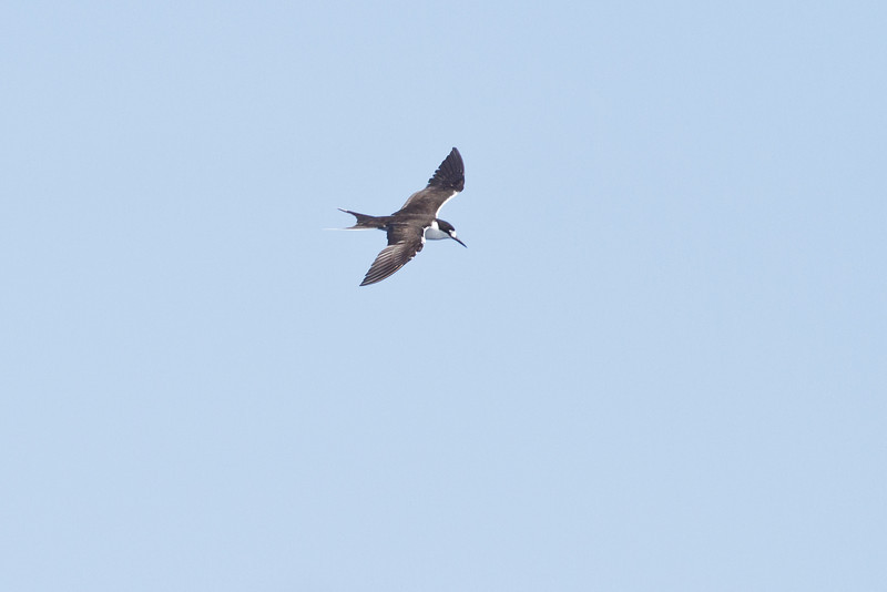 Sooty Tern Sydney, NSW February 11, 2012 IMG_5556
