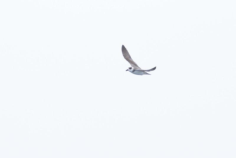 White-necked Petrel Sydney, NSW February 11, 2012 IMG_5528
