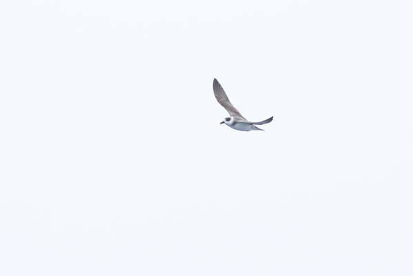 White-necked Petrel Sydney, NSW February 11, 2012 IMG_5528
