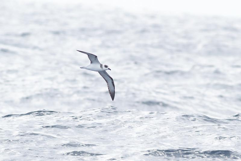 White-necked Petrel Sydney, NSW February 11, 2012 IMG_5535