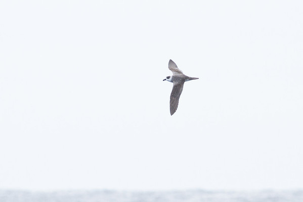 White-necked Petrel Sydney, NSW February 11, 2012 IMG_5524