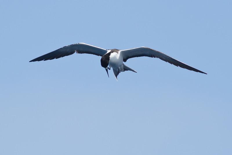 Sooty Tern Sydney, NSW February 11, 2012 IMG_5562