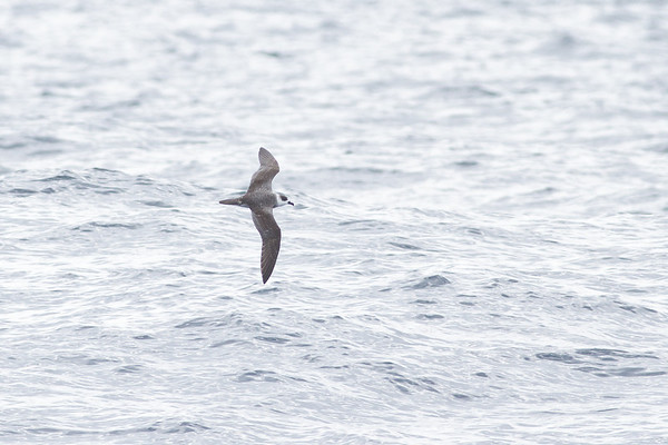 White-necked Petrel Sydney, NSW February 11, 2012 IMG_5510